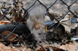 Ratten Rat
